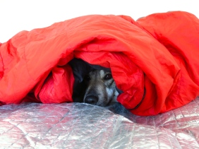 At the end of every day, Osa would patiently wait in the snow while we put up the tent, laid the spruce boughs and sleeping pads. Then came her favourite part of the day: curling up and being buried in all of the sleeping bags. What a lucky dog!
