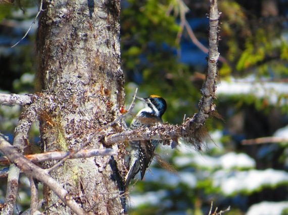 Male Black-Backed Three-Toed Woodpecker