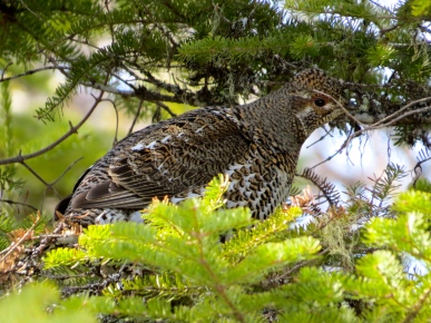 Female Spruce Grouse